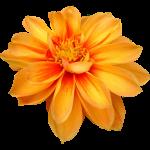 purepng.com-dahlia-flowerdahliaflowernaturedahlia-flower-9115245691928emkp